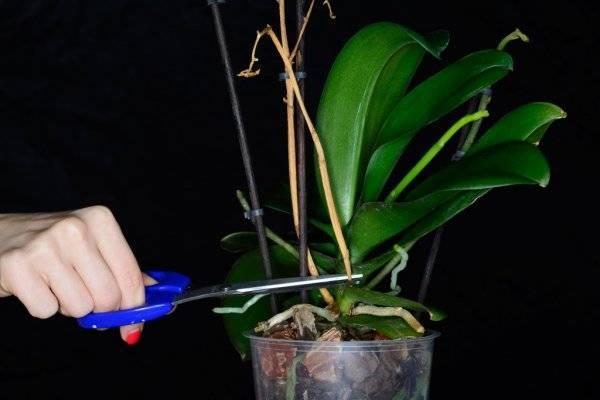 У орхидеи засох стебель что делать