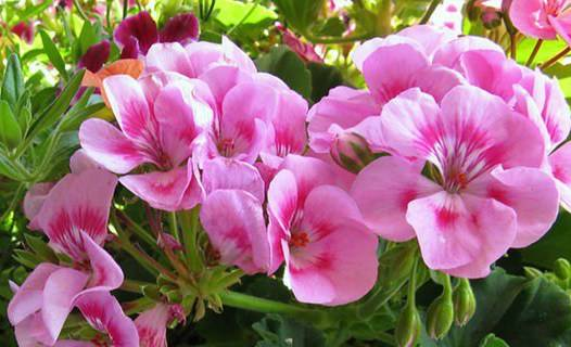 Комнатный цветок похожий на калачик название 93