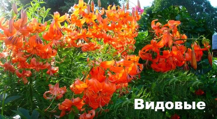Какие сорта лилии бывают
