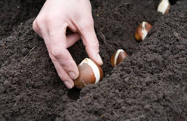Когда сажать луковичные цветы осенью