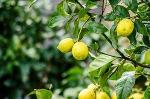 Земля для лимона