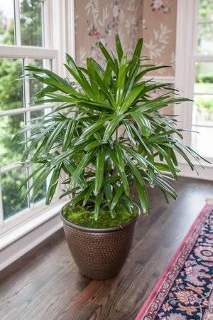 Комнатные цветы пальмовые