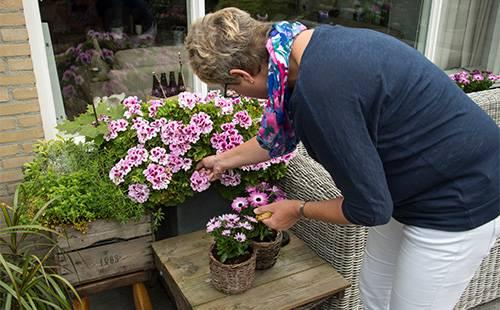 Можно ли пересаживать герань во время цветения