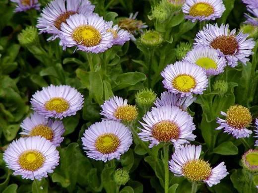 Садовые цветы похожие на ромашки