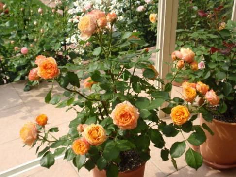 Почва для комнатной розы