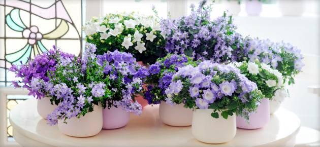 Цветы жених и невеста название