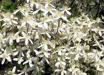 Мелкоцветковые клематисы