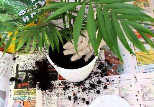 как правильно выращивать пальму в домашних условиях