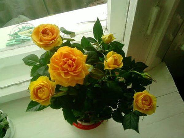 Розы патио что это такое