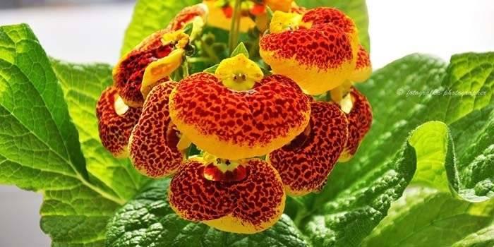 Цветы башмачки