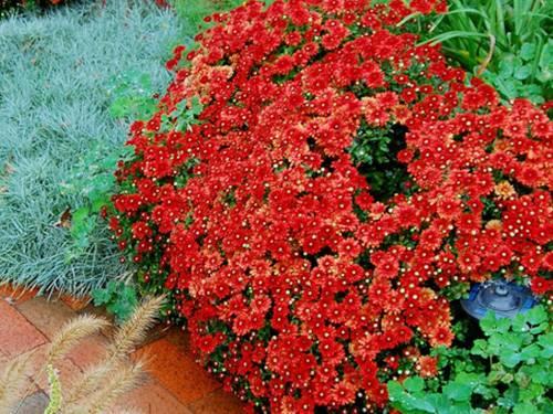 Когда цветет хризантема