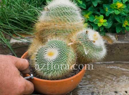 Пересадка кактуса с горшка в горшок