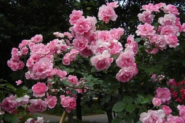 Полиантовые розы что это такое