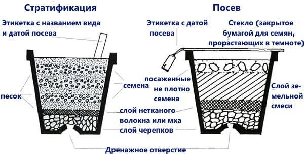Глициния выращивание на урале