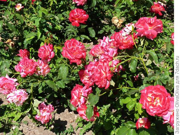 Роза чайно гибридная дабл делайт