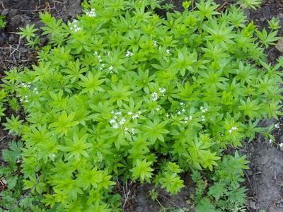Тенелюбивые растения для сада