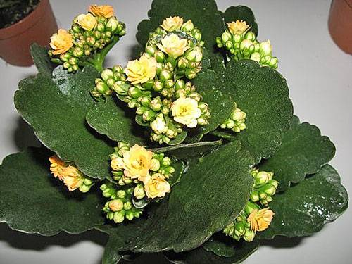 Каланхоэ домашний цветок