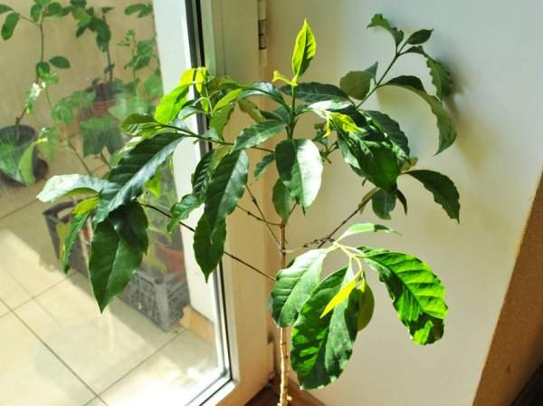 Цветок кофе арабика уход в домашних условиях