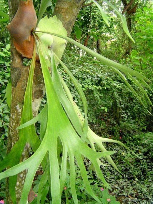 Растение оленьи рожки