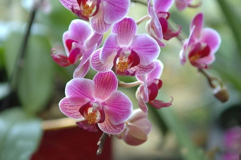 У орхидеи гниют корни