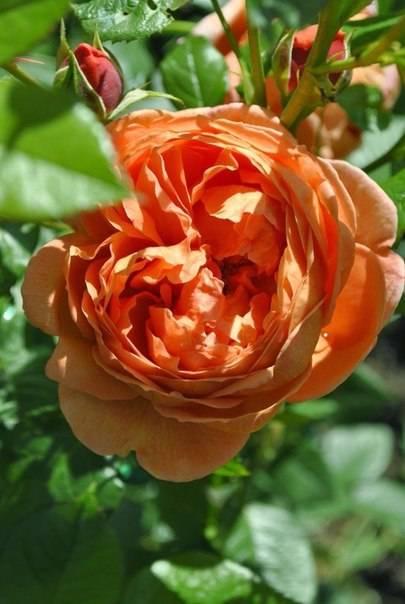 Роза леди саммер