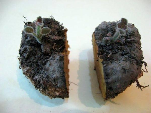 Как размножается глоксиния в домашних условиях