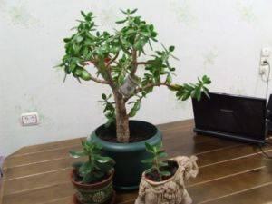 Как правильно пересадить денежное дерево