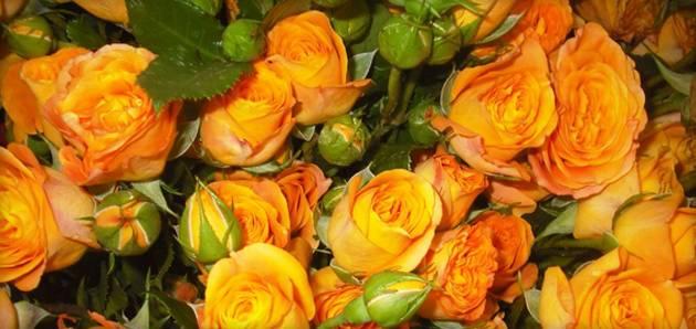 Оранжевые розы к чему дарят