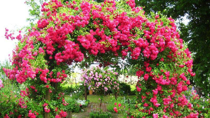 Как ухаживать за плетистой розой в саду