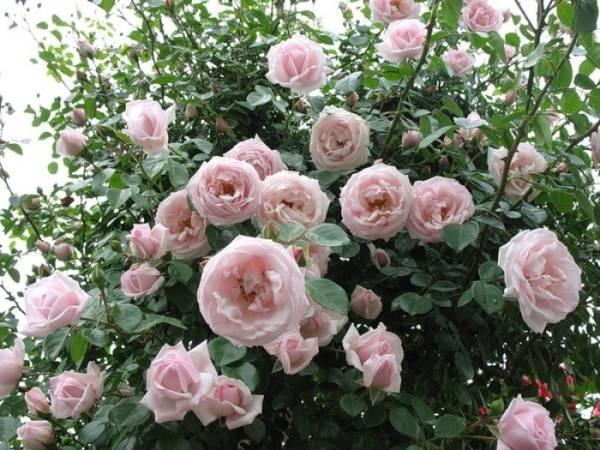Blue girl роза