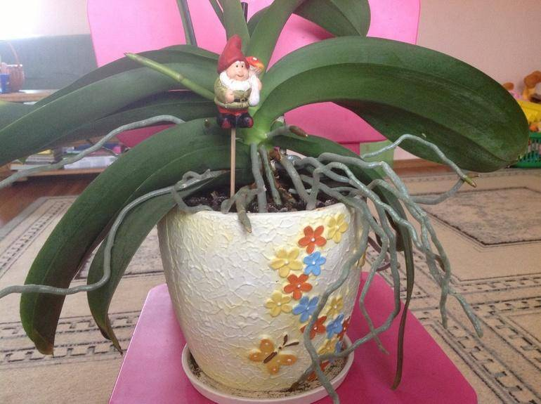 Корни орхидеи вылезли из горшка