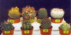 Голландские кактусы определитель