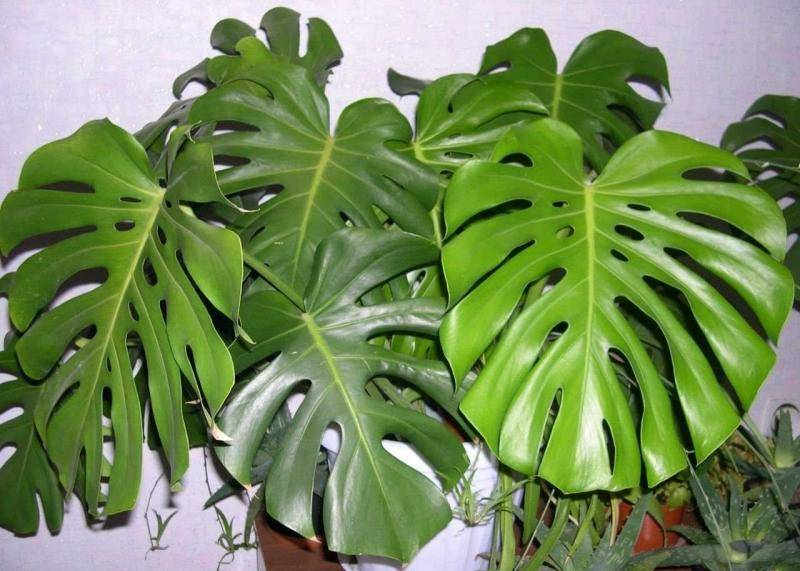 Monstéra — крупное тропическое растение, которое выглядит как лиана и относится к семейству Ароидные