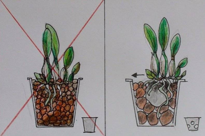 Орхидея башмачок уход в домашних условиях
