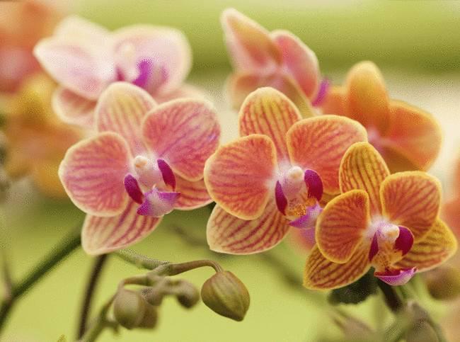 Чтобы орхидея зацвела