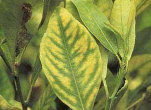 желтые пятна на листьях лимона что делать