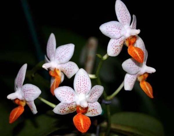 Маленькие орхидеи