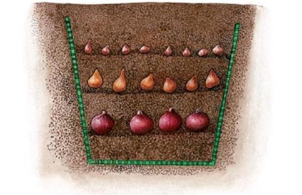 Когда осенью сажать луковицы тюльпанов