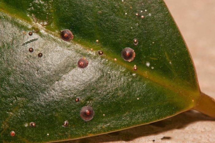 Как избавиться от щитовки на комнатных растениях