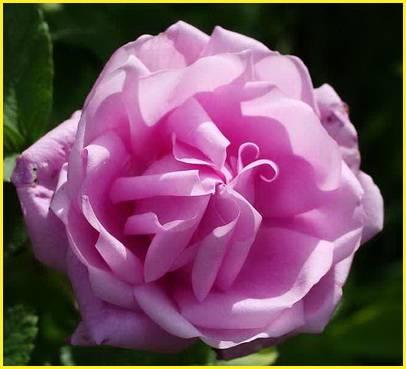 Парковые розы сорта