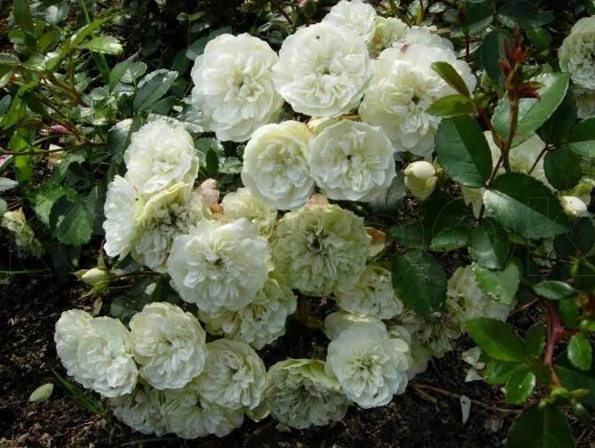 Маленькие кустовые розы