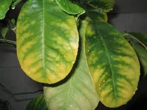Почему желтеют листья комнатных цветов