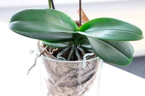 У орхидеи на листьях появились липкие капли