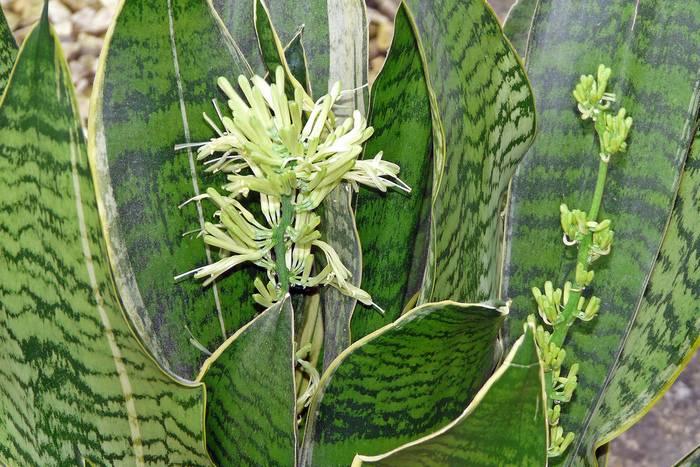 Сансевиерия цилиндрика