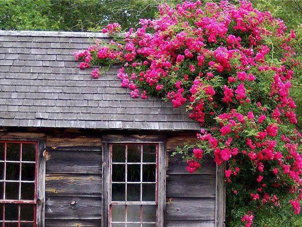 Полуплетистая роза