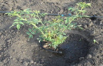 Как поливать розы