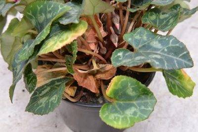 У цикламена желтеют листья что делать