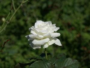 Розы флорибунда уход