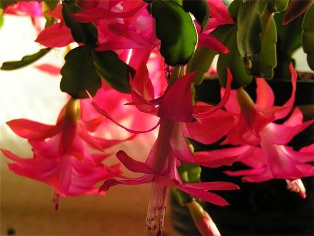 Декабрист цветок уход в домашних условиях болезни 118