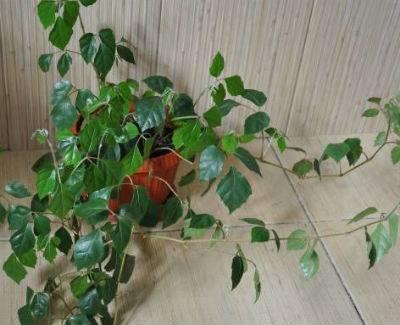 Цветок березка уход в домашних условиях